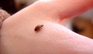 bed bug on the hand